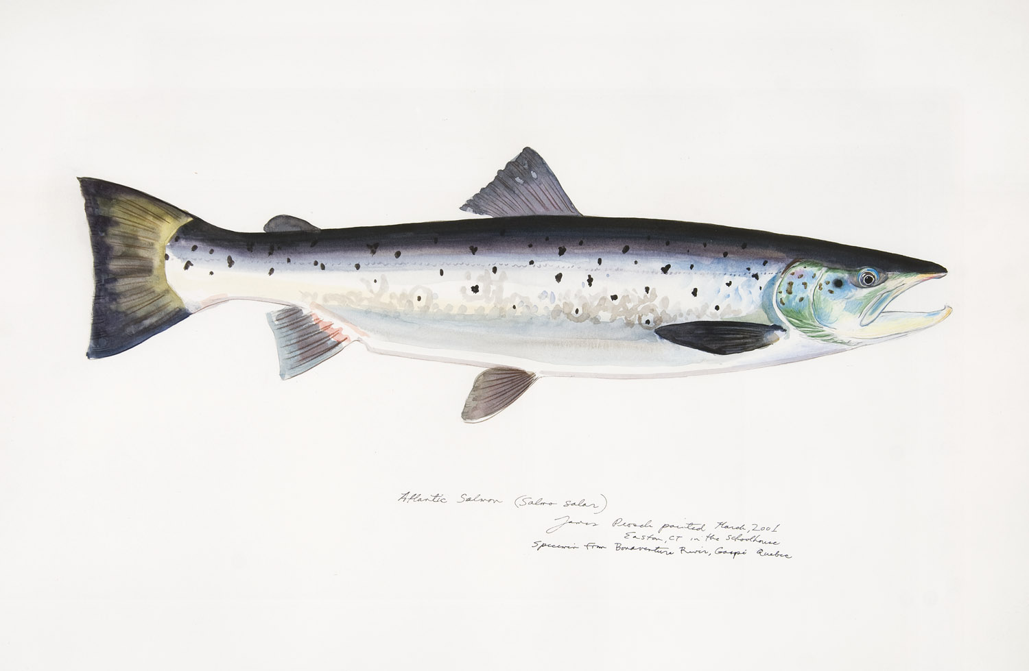 James Prosek Atlantic Salmon James Prosek: The Audubon of Fish