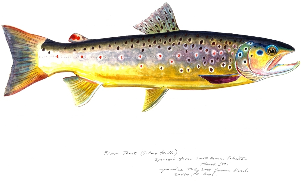 James Prosek Brown Trout James Prosek: The Audubon of Fish